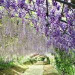 This is a photo of the Kawachi Wisteria Garden in Kitakyushu City, Fukuoka Prefecture, Kyushu, Japan. The tunnel of blue-violet, white, and various other colors of wisteria flowers is very beautiful. This image is also linked to the Custom One Day Tour page.