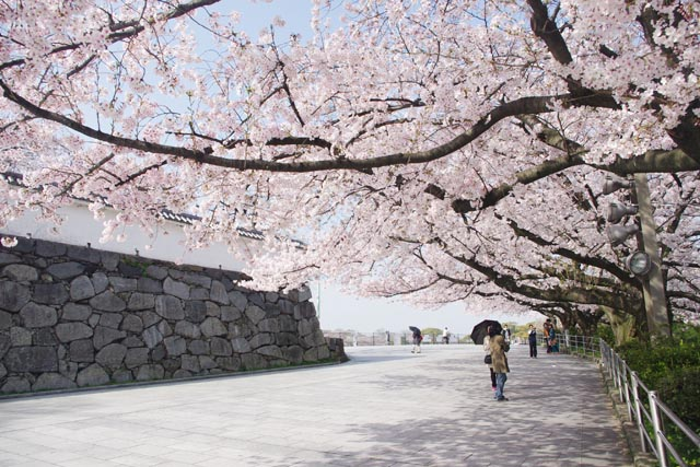 This is a photo of Fukuoka Castle Ruins on the Fukuoka Castle Ruins Walk Tour. It was taken in the springtime, and the cherry blossoms are lined up near the stone walls. This image is also linked to the Fukuoka Castle Ruins Walk Tour page on the website of Fukuoka Walks.
