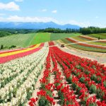 This is a photo of a flower garden in Biei, a hill town adjacent to Furano, Hokkaido, Japan. The spacious flower field is filled with red, white, yellow and other colored flowers that bloom all over the field.